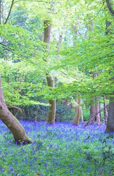 Spring Bluebells - Joana Starnes modified half 2